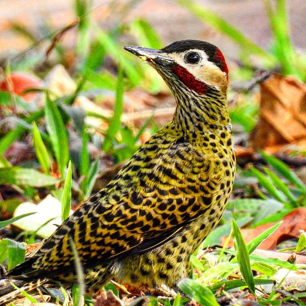 Pica-pau-verde-barrado/ Green-barred Woodpecker
