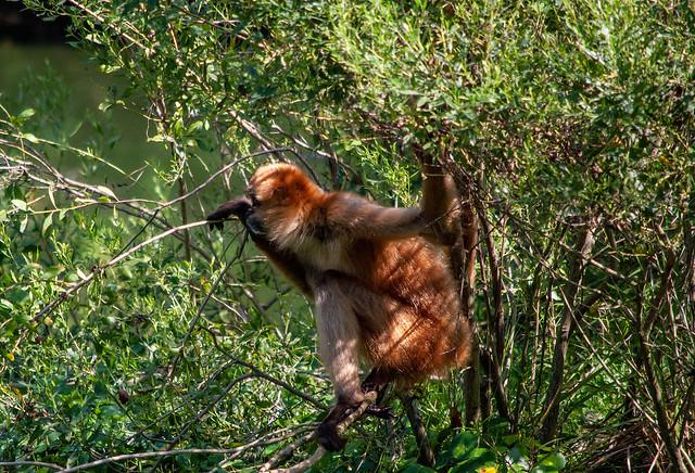 Spider monkey Clmbing