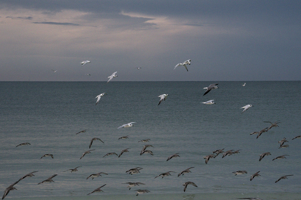 Shorebirds, dusk