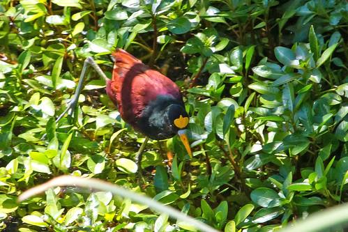 birds tucson arizona jacana
