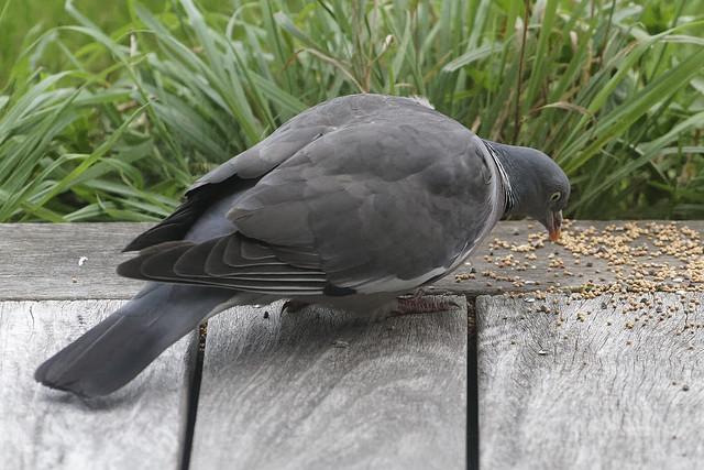 Pigeon ramier juvénile_A726453_DxO