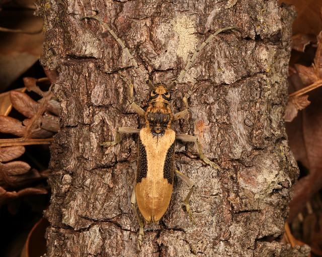 Longhorn Beetle (Xoanodera regularis, Cerambycinae, Cerambycidae)