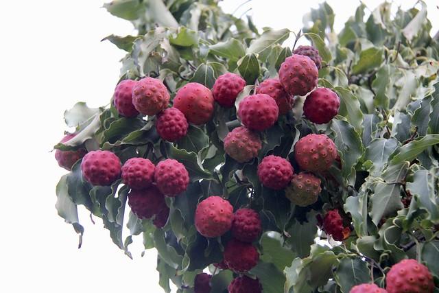 Kousa Dogwood Fruits