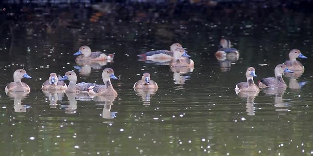 Flock of Lesser Whistling Ducks
