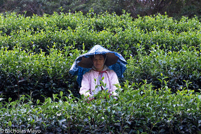 Tea Picker In The Beishi River Valley