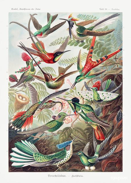 Trochilidae–Kolibris from Kunstformen der Natur (1904) by Ernst Haeckel. Original from Library of Congress. Digitally enhanced by rawpixel.