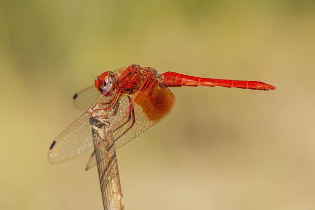 ♂ Orange-winged Dropwing