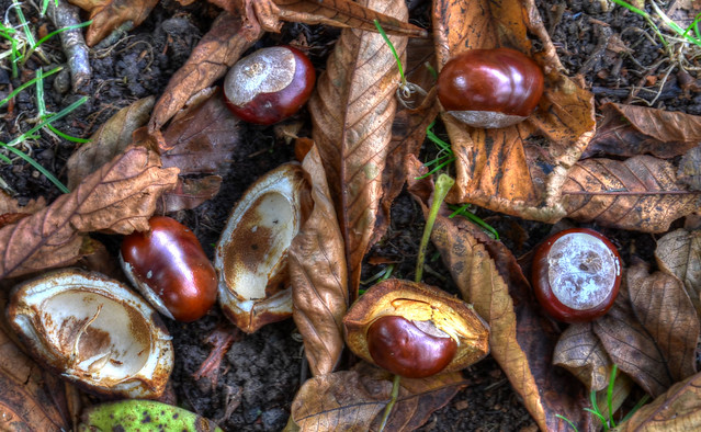 Conkers on the village green
