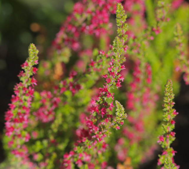 Red Heather..