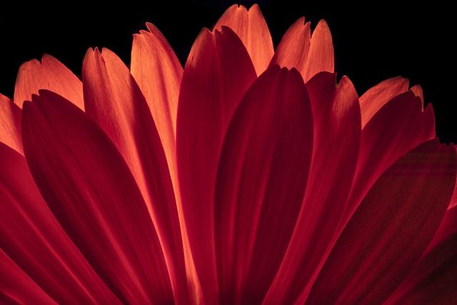 Backlit Red Gerbera Petals