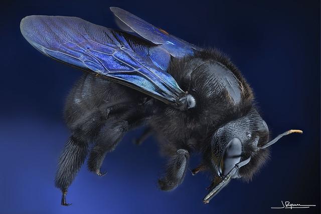 abejorro carpintero europeo (Xylocopa violacea)
