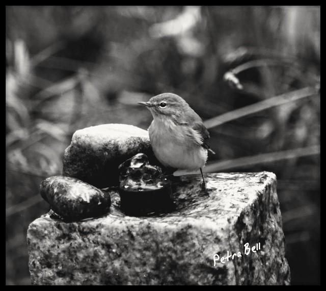 Bathing fun one a little willow warbler 🌈💕