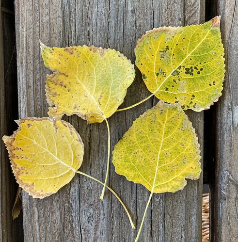 cottonwood_leaf_20201009_100