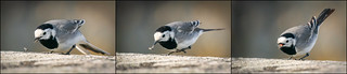 Wagtail Hunt | by Ranveig Marie Photography