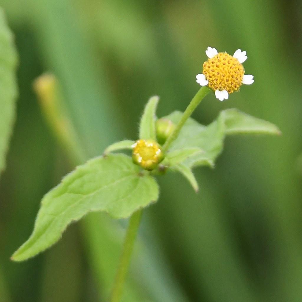 Kleinblütiges Franzosenkraut (Galinsoga parviflora) (1)