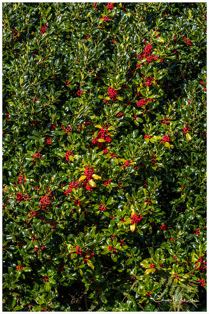 The Holly Bears A Berry