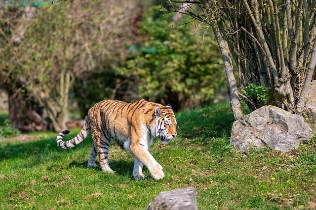 Amur tiger in stride