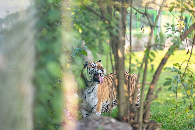 Amur Tiger showing teeth