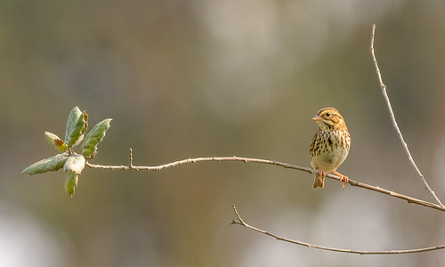 Savannah Sparrow | by Becky Matsubara