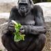 "<p><a href=""https://www.flickr.com/people/154721682@N04/"">Joseph Deems</a> posted a photo:</p>  <p><a href=""https://www.flickr.com/photos/154721682@N04/50442629662/"" title=""Western Lowland Gorilla""><img src=""https://live.staticflickr.com/65535/50442629662_61742be7b0_m.jpg"" width=""181"" height=""240"" alt=""Western Lowland Gorilla"" /></a></p>  <p>Fort Worth Zoo</p>"