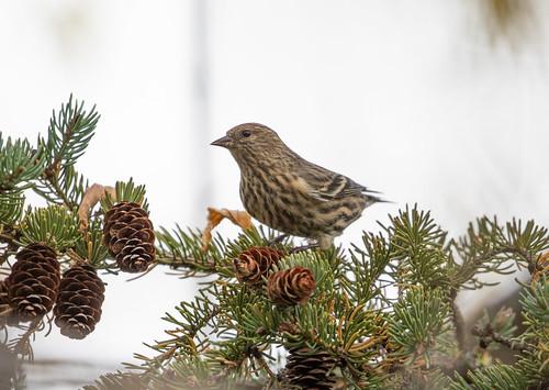 Pine Siskin eating spruce seeds