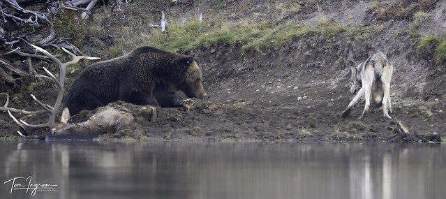 Grizzly & Wolf stand off over elk kill