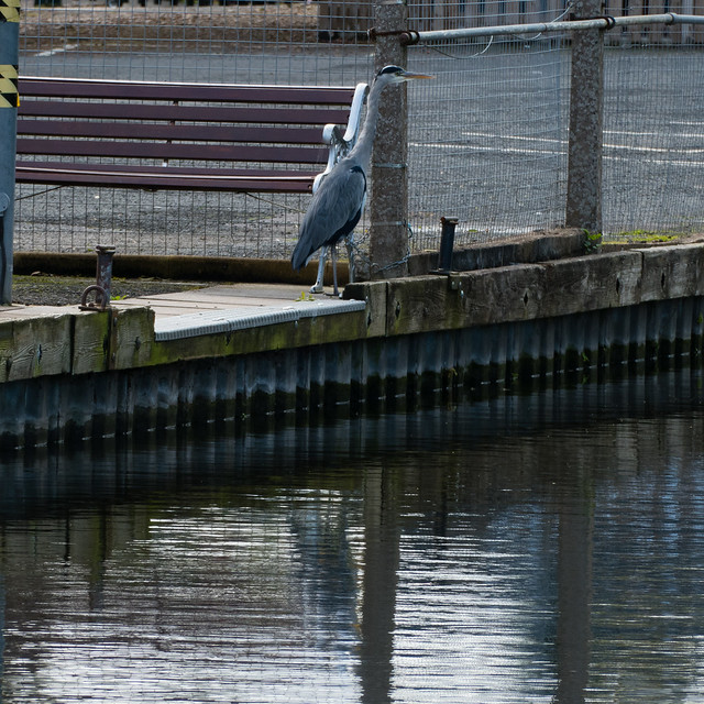 Heron by a bench