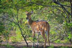 Lone Spotted Deer