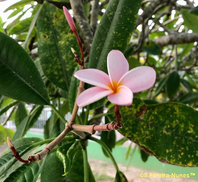 Rose Plumeria, Jasmim Manga Rosa, Paramaribo, Suriname