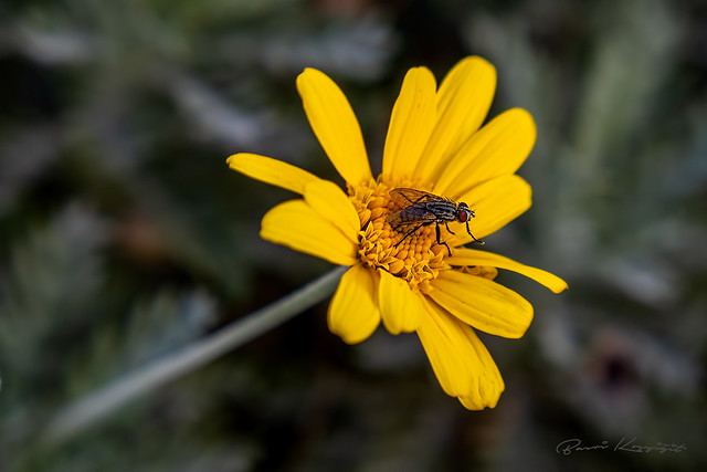 Karasinek (Housefly)