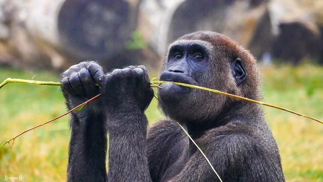 Gorille - 8947