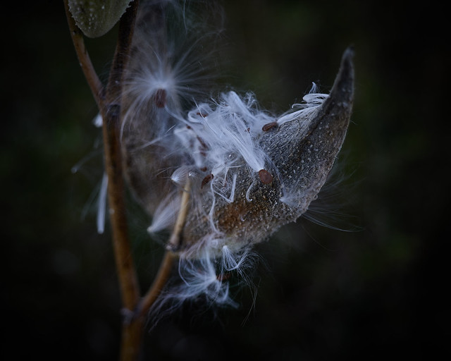 milkweed, at dusk, 10-4-20, 2