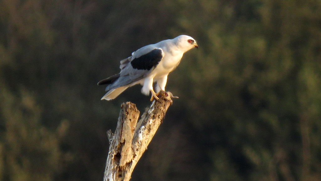White-tailed Kite and small mammal prey