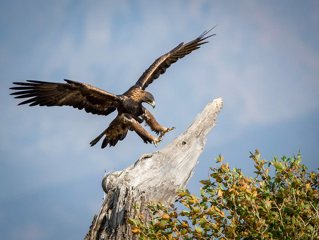 Golden Eagle in Yellowstone