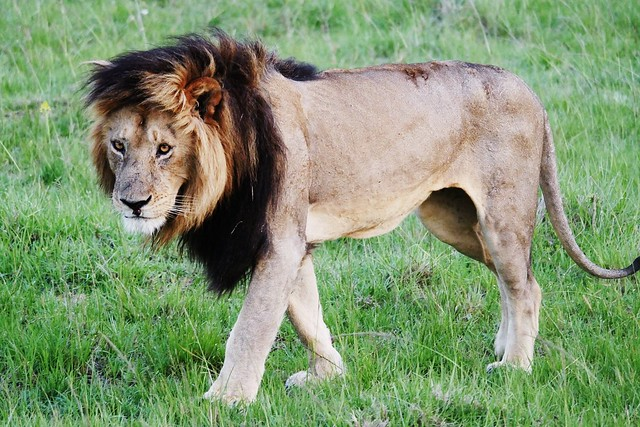 The King Of All He Surveys (Panthera leo)