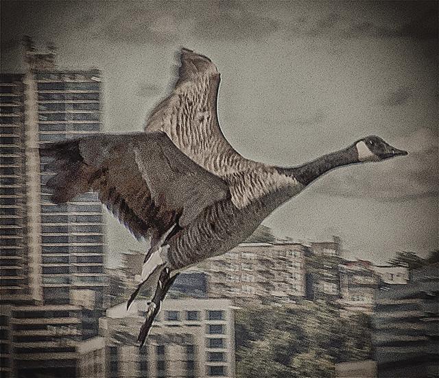 Canada Goose in Flight over Hudson River