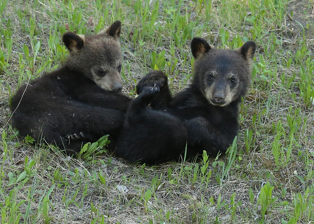 Black Bear cubs...#22