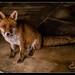 Foxy-3.jpg