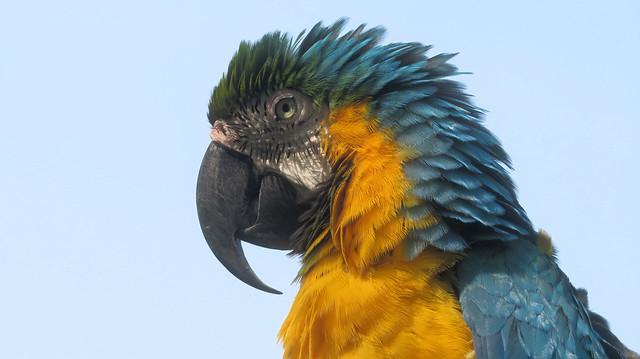 Parrot Alex
