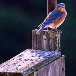Eastern Blue Bird
