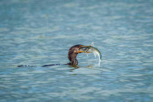 Eye to eye: Cormorant vs. fish | by Ed Rosack