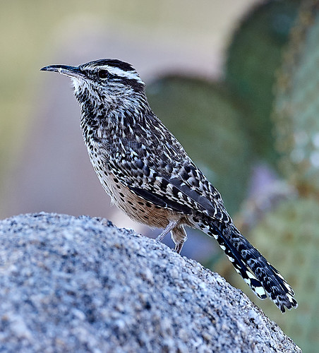 cactuswren gambelsquail landscapes mountains scenicnature nature bird birds