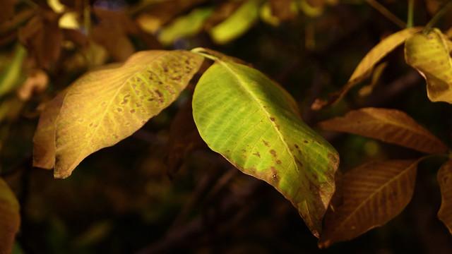 Осенние листья ореха / Autumn walnut leaves