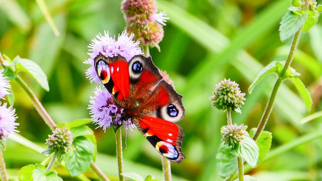 #Butterfly - 8949