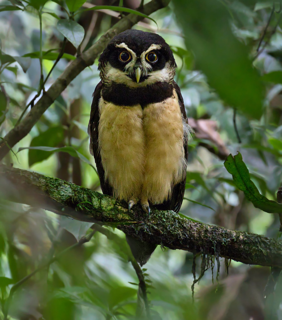 Spectacled Owl - Chouette à lunettes