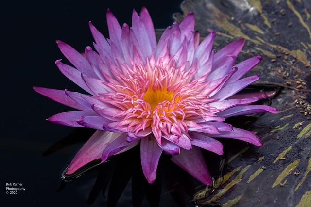 Tropical Day-flowering Water Lily 4.