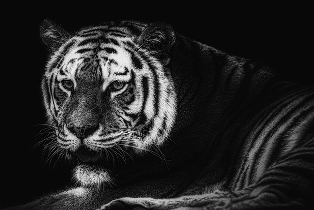 Siberian Tiger Black and White
