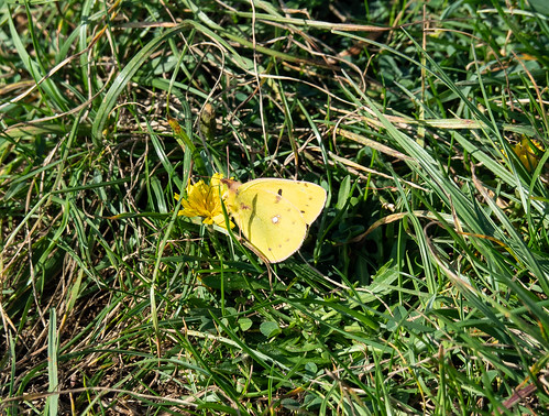 Clouded Yellow Butterfly in autumn sunshine