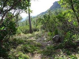 Le chemin du Carciara aval (HR21) en RD de la Figa Bona après le débroussaillage