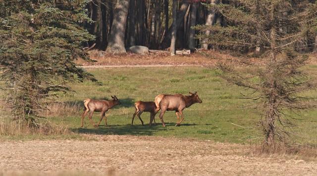 3 Generations of Elk